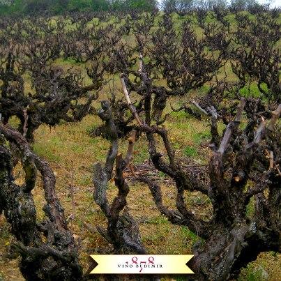 Prokupac vineyard owned by Budimir winery
