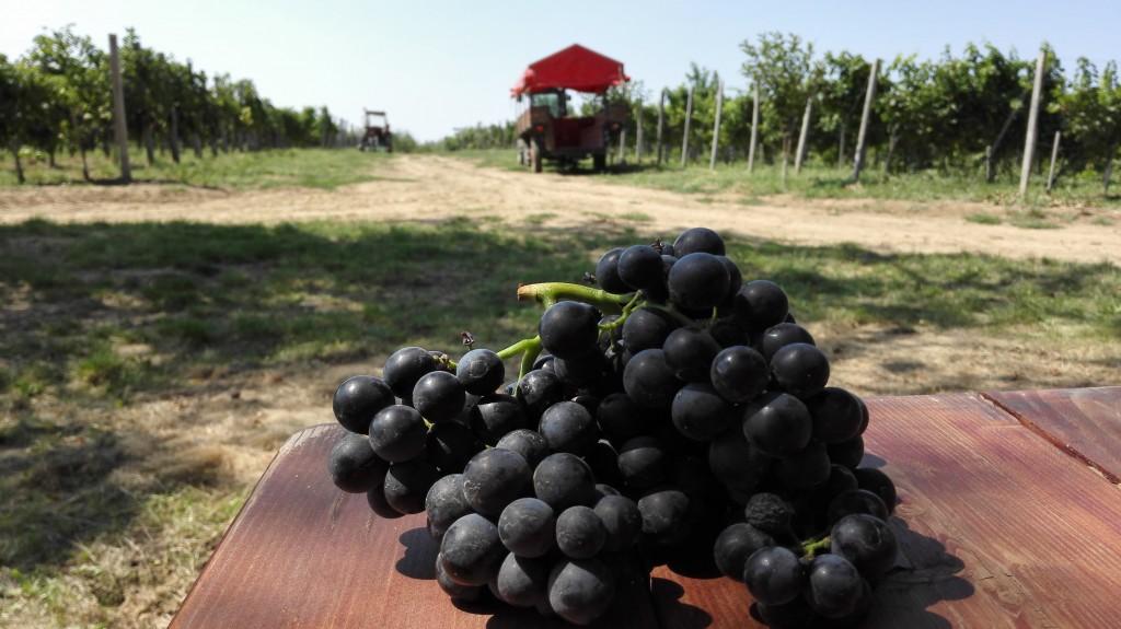 Portugieser harvest in Mačkov Podrum (Tomcat's Cellar)