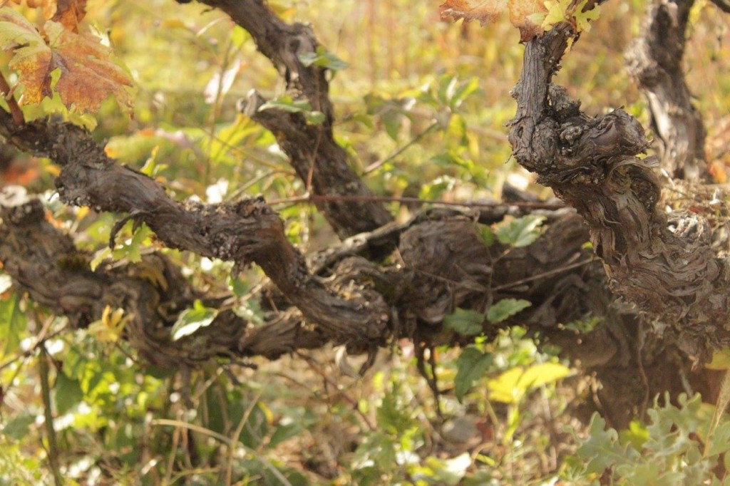 old vines (©Photographicon)