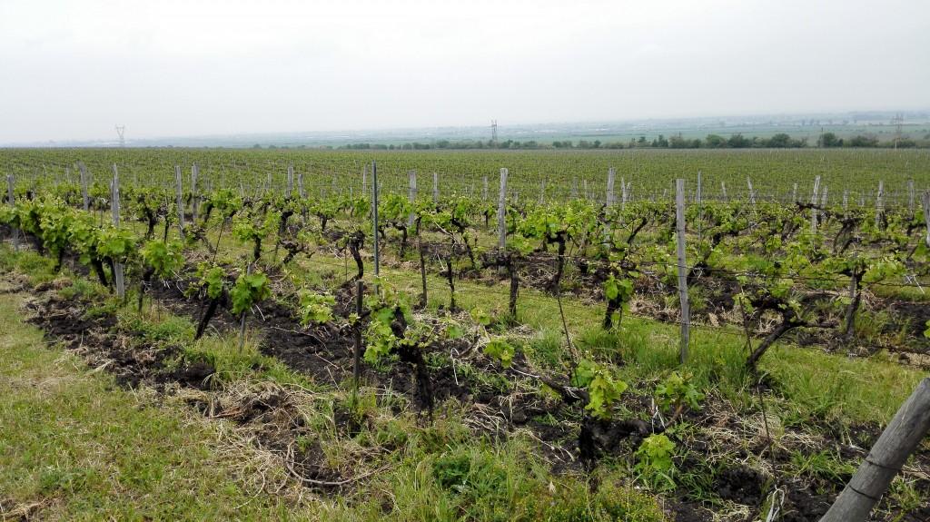 vinogradi vinarije Zagreus