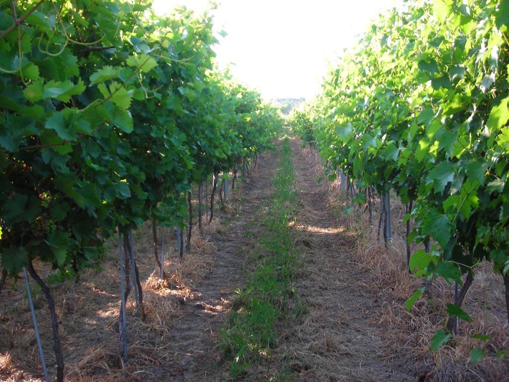 vinogradi Trivanovic