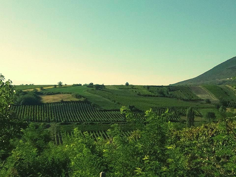 Vineyards owned by Antić Winery in Orahovac vinegrowing area