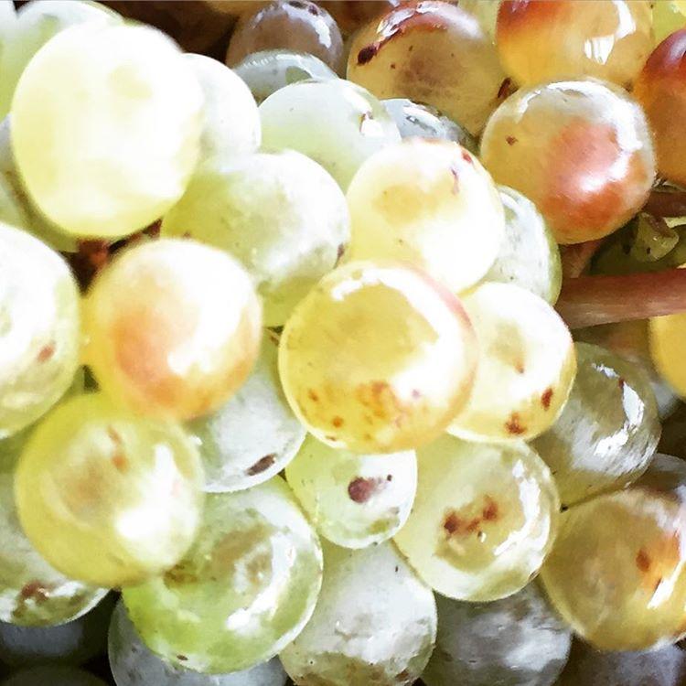 japinđak iz vinarije Pašaeli