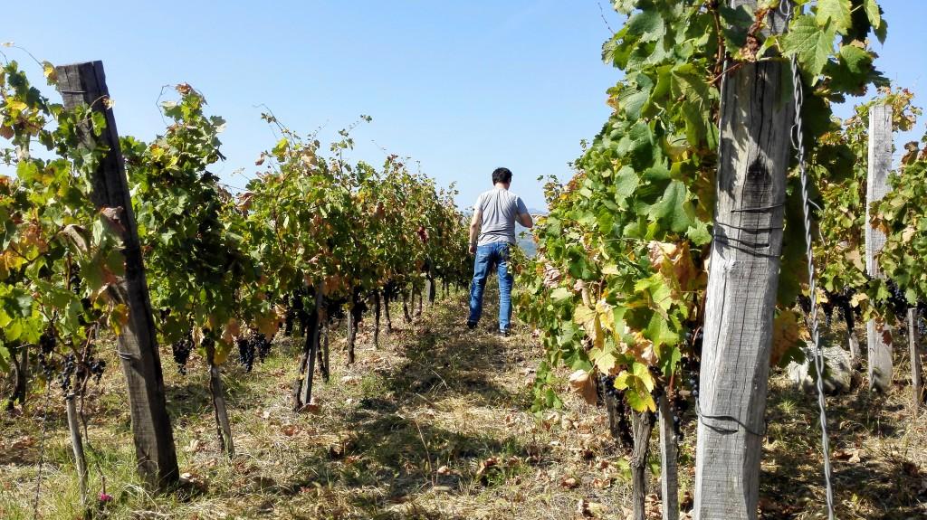vinograd merloa vinarije Milanov podrum na vrhu Varine