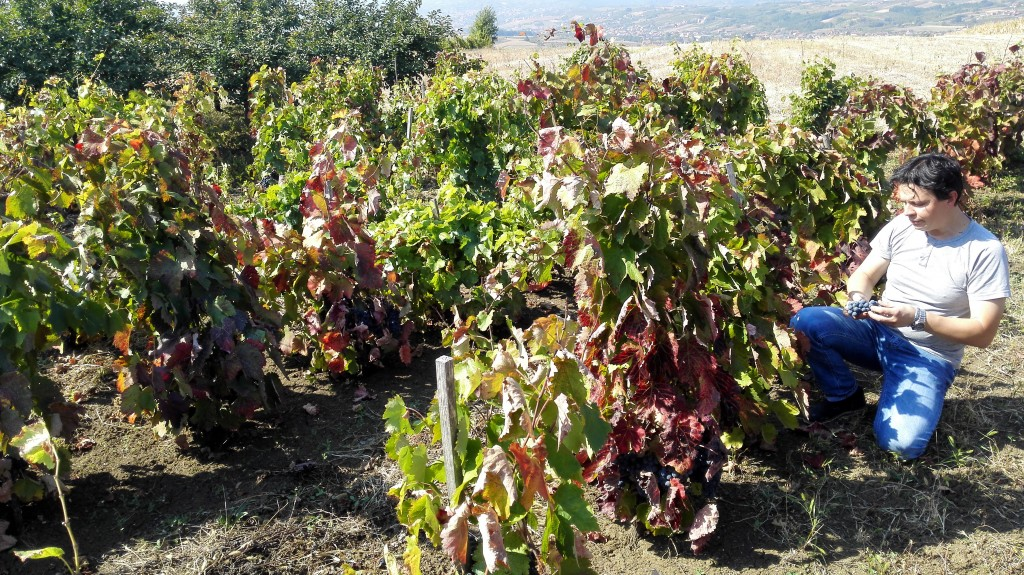 Ogledni vinograd prokupca vinarije Milanov podrum na brdu Varini