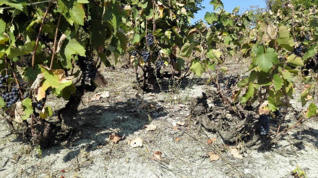 Vinograd prokupca vinarije Ivanović